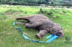 Baby Elephant with Rhythmic Gymnastics Ribbon Skills